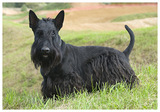 detailMain_scottish-terrier.png